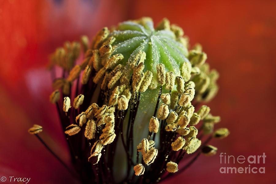 Poppy Photograph - Poppy Macro by Tracy  Hall
