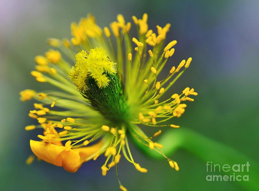 Poppy Seed Capsule 2 Photograph