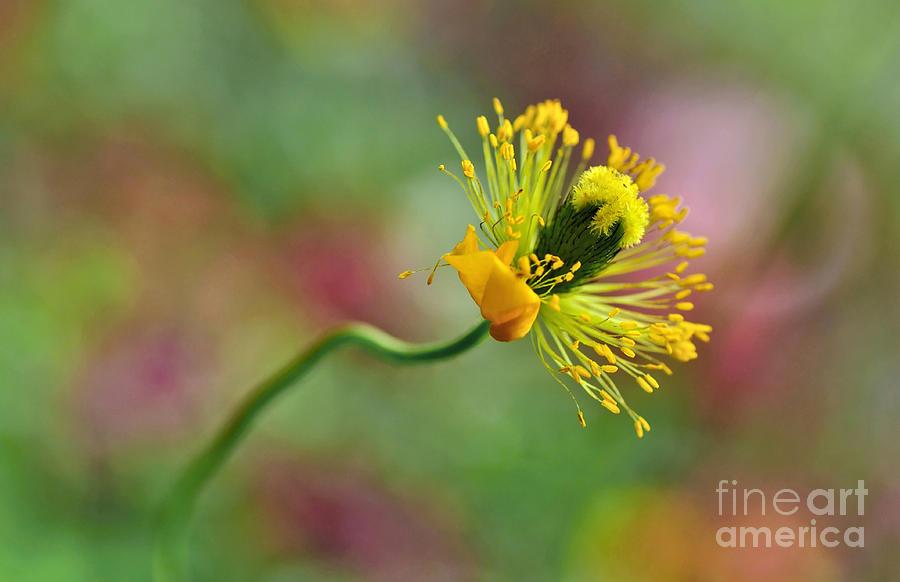 Poppy Seed Capsule Photograph