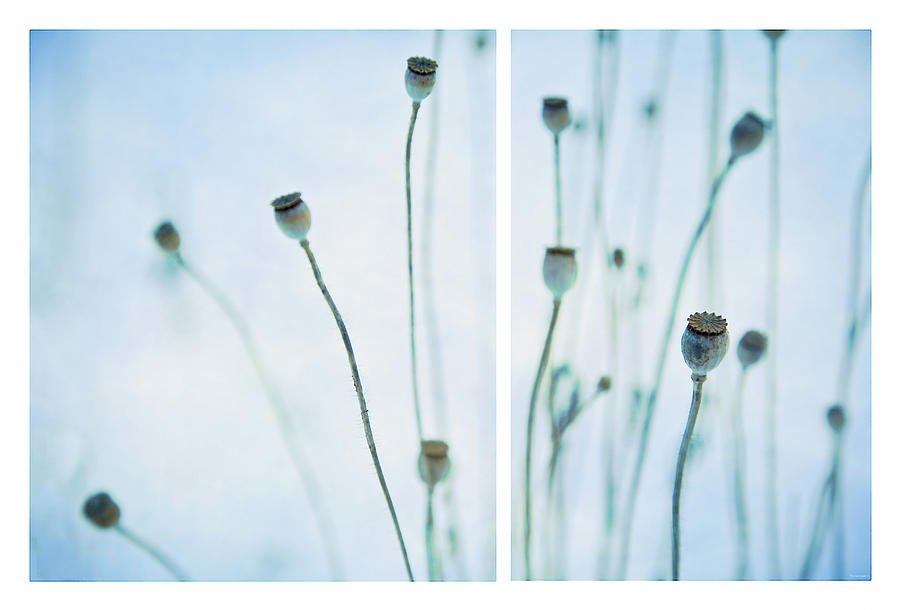 Poppy Seed Pods Photograph