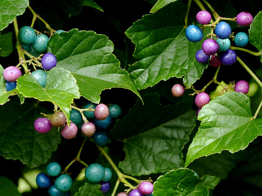 Porcelain Berries Photograph - Porcelain Berries by Lisa Phillips