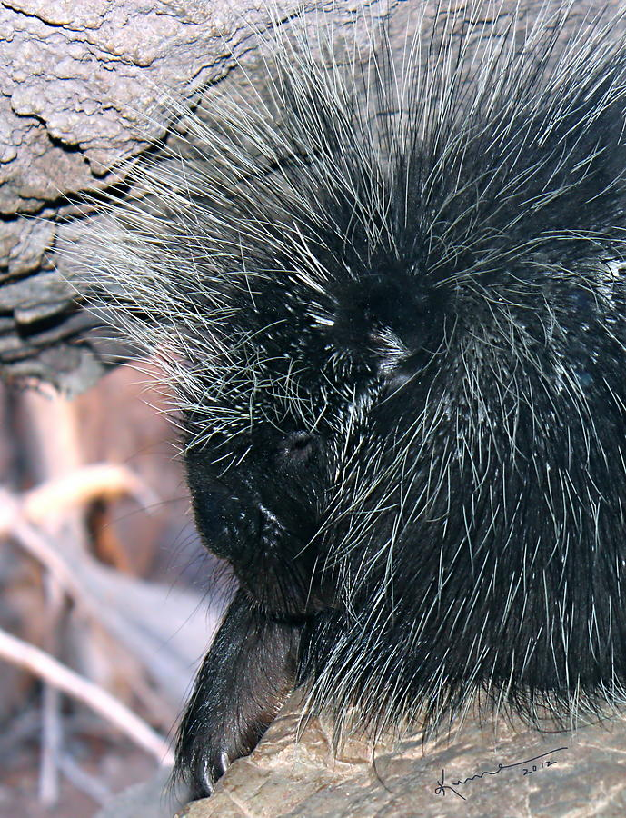 Porcupine Photograph - Porcupine by Kume Bryant