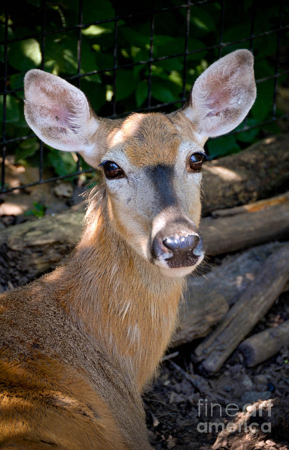 Portrait Of A Deer Photograph