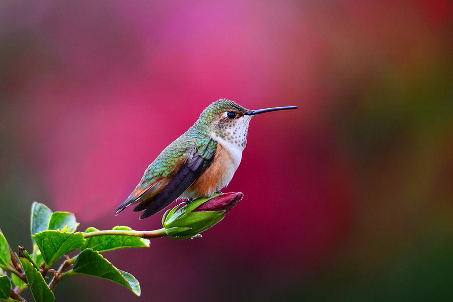 Portrait Of A Hummer Photograph
