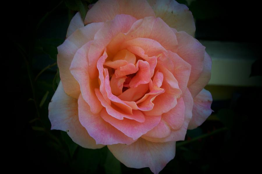 Portrait Of A Rose Photograph