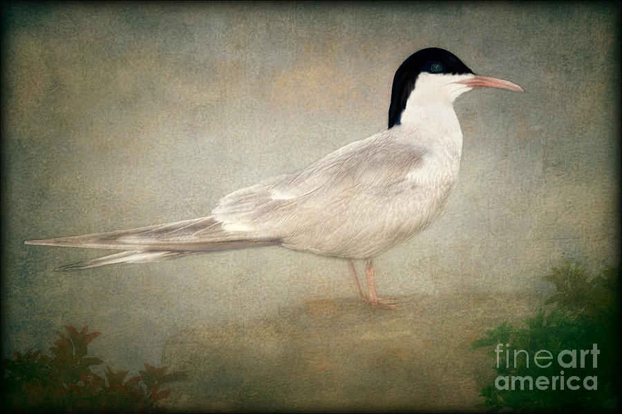 Portrait Of A Tern Photograph  - Portrait Of A Tern Fine Art Print