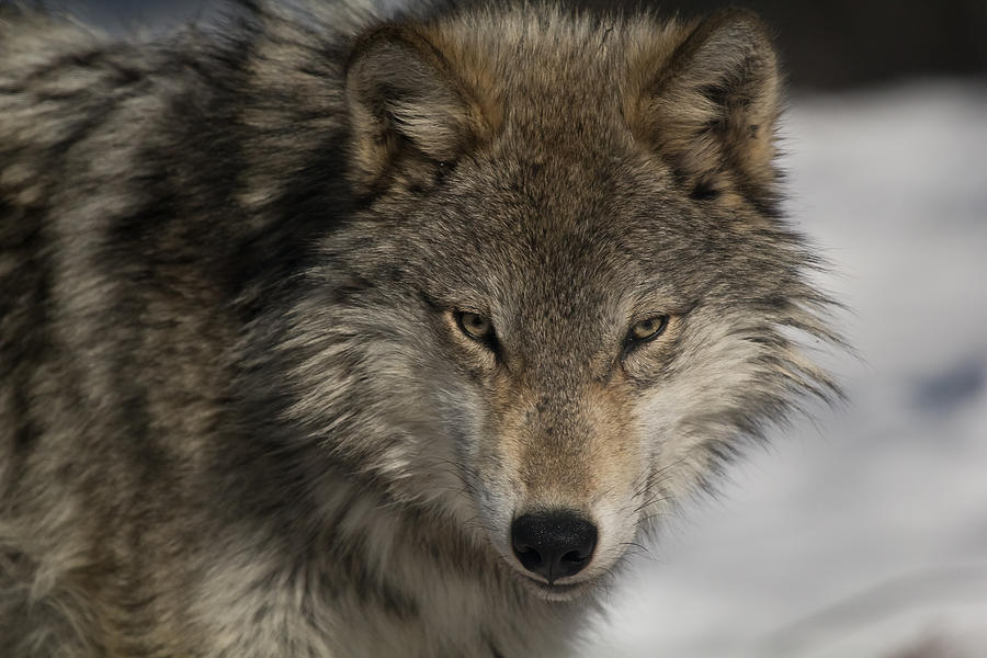 Portrait Of A Wolf Photograph