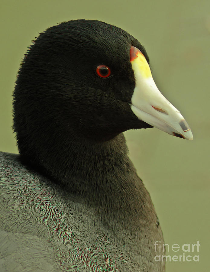 Portrait Of An American Coot Photograph  - Portrait Of An American Coot Fine Art Print