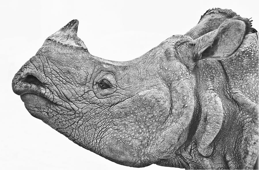 asian art of rhinoceros The sumatran rhinoceros , also known as the hairy rhinoceros or asian two-horned rhinoceros (dicerorhinus sumatrensis), is a rare member of the family rhinocerotidae and one of five extant rhinoceroses.