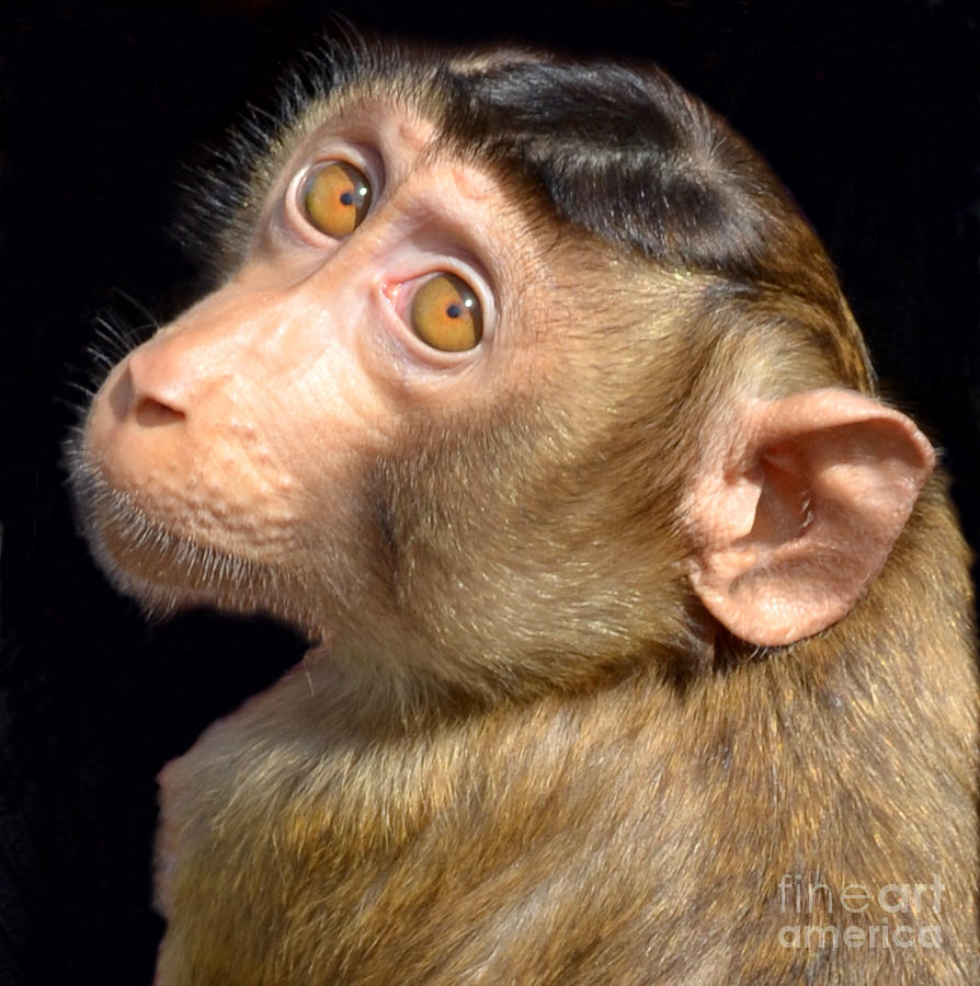 Portrait Of Gibi The Baby Monkey II Photograph