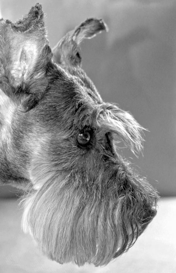 Miniature Schnauzer Photograph - Portrait Of Gretl by  Andrea Lazar