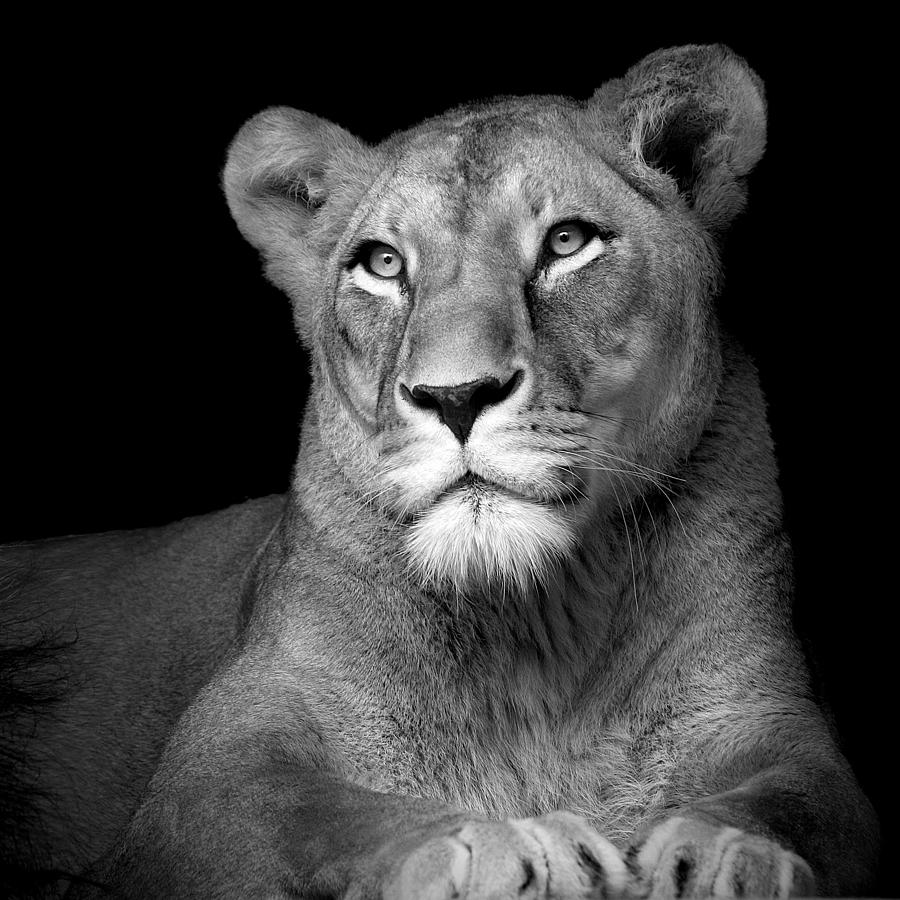 Portrait Of Lioness In...