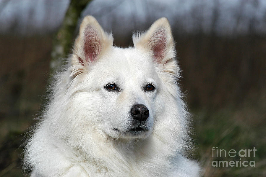 Portrait White Samoyed Dog Photograph