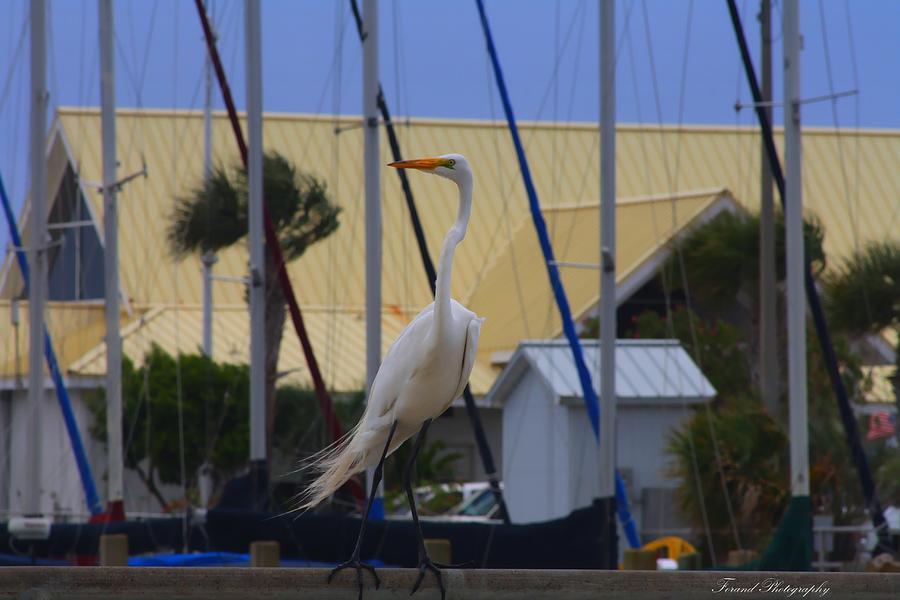 Posing Egret Photograph