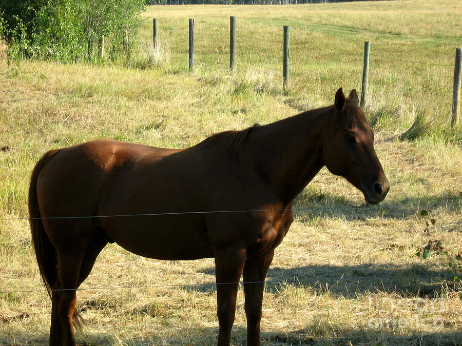 Prarie Stallion In The Shade Photograph  - Prarie Stallion In The Shade Fine Art Print