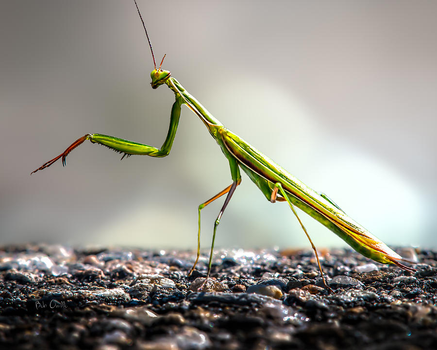 Praying Mantis  Photograph