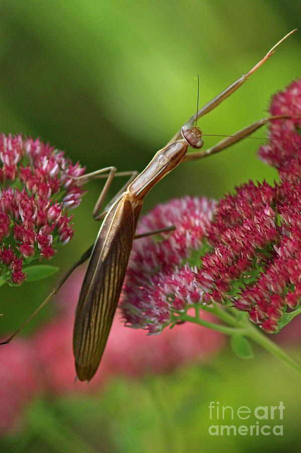 Praying Mantis Climbing Up Sedium Flower Photograph