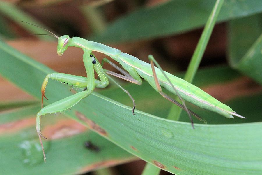 Praying Mantis by Doris Potter
