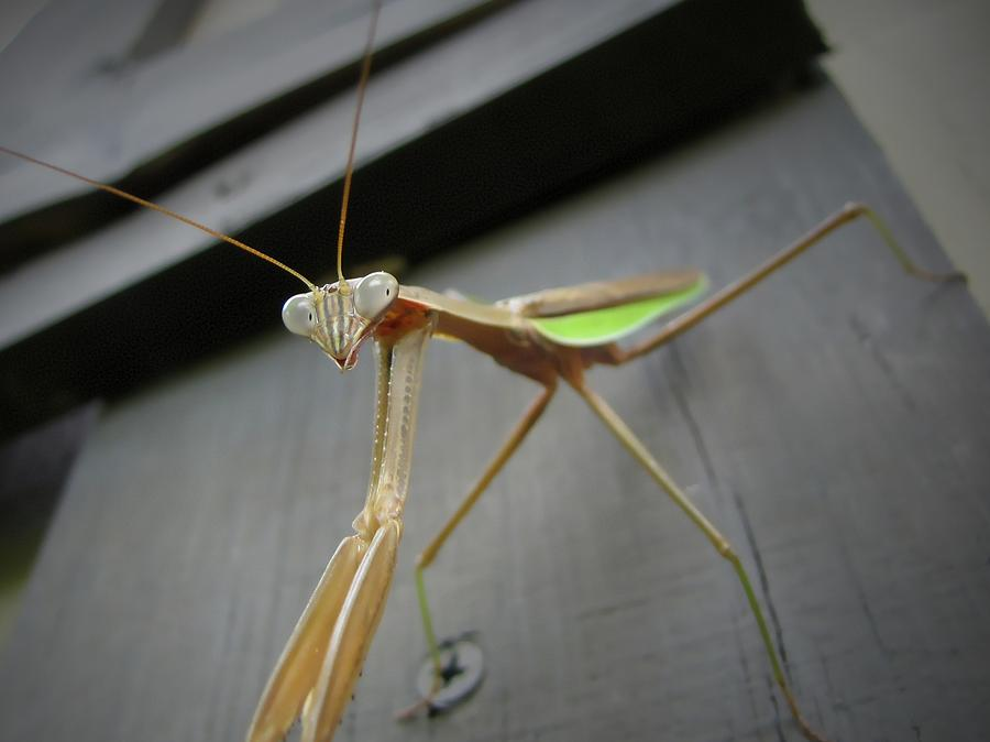 Praying Mantis Photograph  - Praying Mantis Fine Art Print
