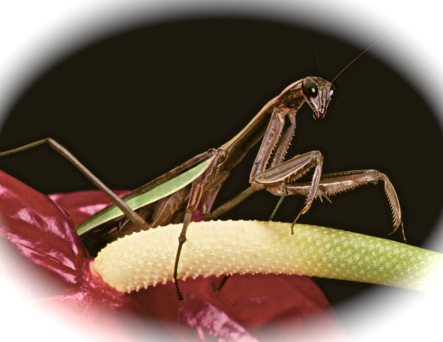 Praying Mantis Taking A Walk On The Anthurium Flower With A White Mat Finish Photograph