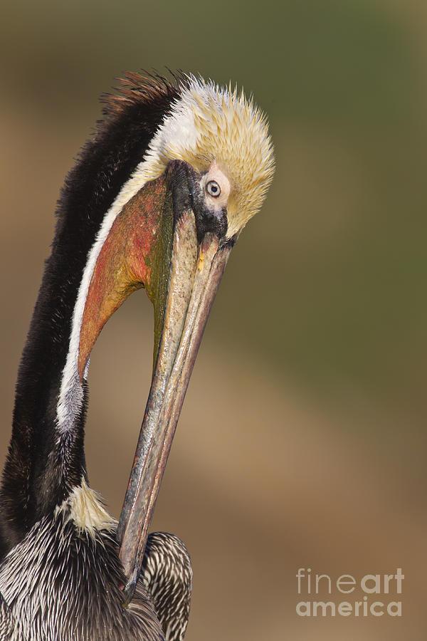 Brown Pelican Photograph - Preening Pelican by Bryan Keil