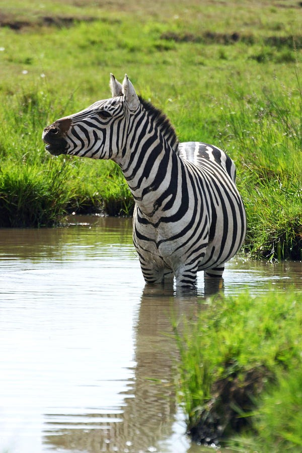 Pregnant Zebra Cooling Off In Waterhole Photograph  - Pregnant Zebra Cooling Off In Waterhole Fine Art Print