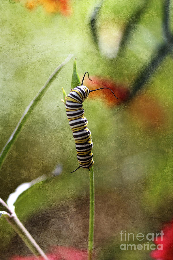 Monarch Photograph - Preparing For Change II by Pamela Gail Torres
