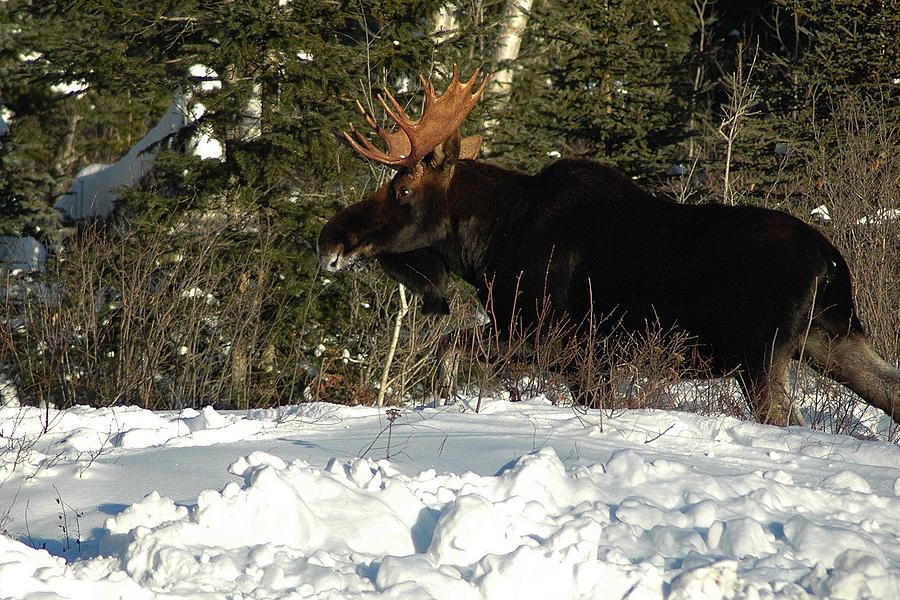 Bull Moose  Photograph - Pretty Bull by Sandra Updyke