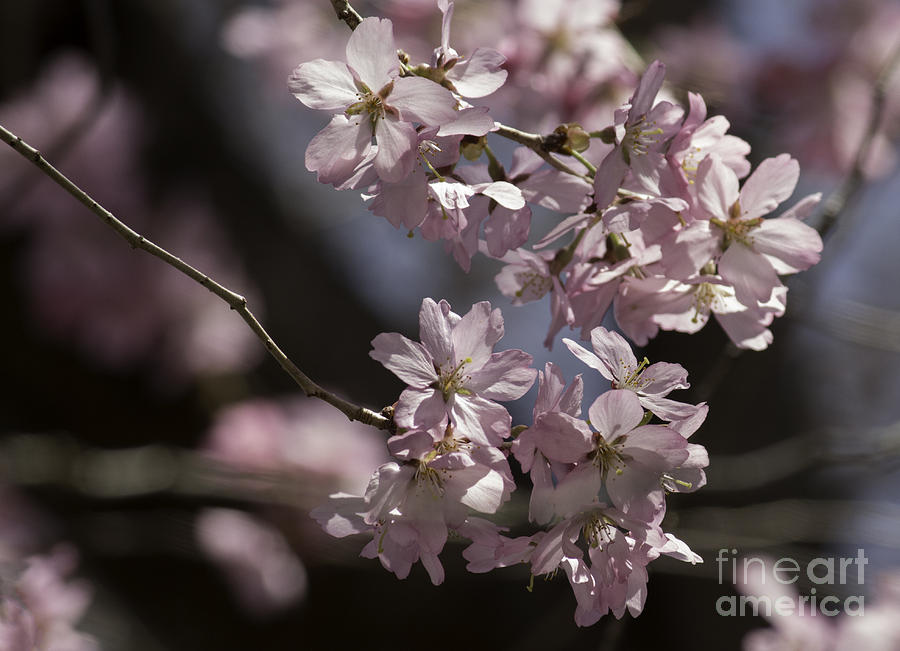 Pretty In Pink Blossom  Photograph  - Pretty In Pink Blossom  Fine Art Print