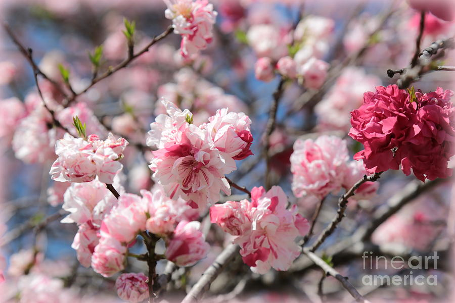 Cherry Blossoms Photograph - Pretty In Pink by Carol Groenen
