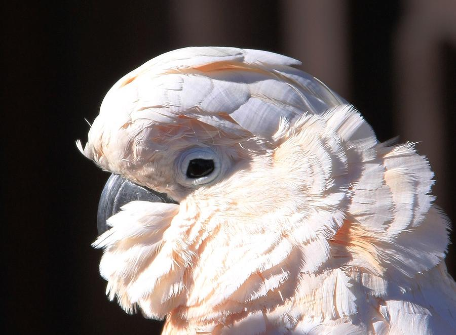 Pretty In Pink Salmon-crested Cockatoo Portrait Photograph