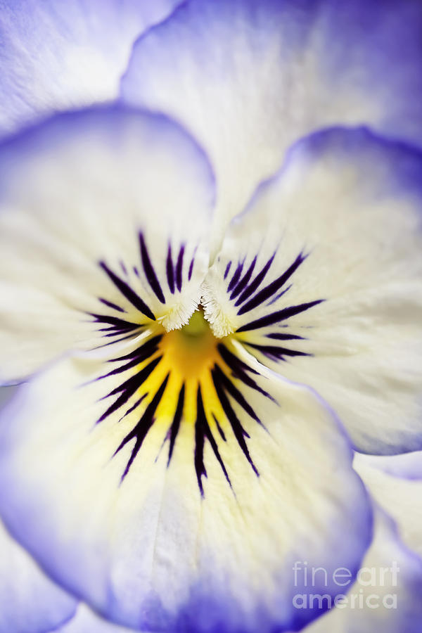 Pretty Pansy Close Up Photograph