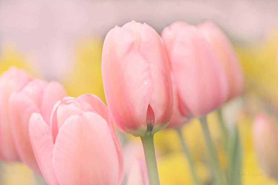 Pretty Pastel Pink Tulip Flowers Photograph