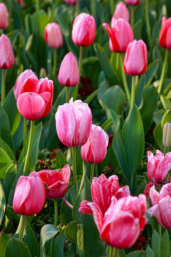 Flowers Photograph - Pretty Pink by Joan Bertucci