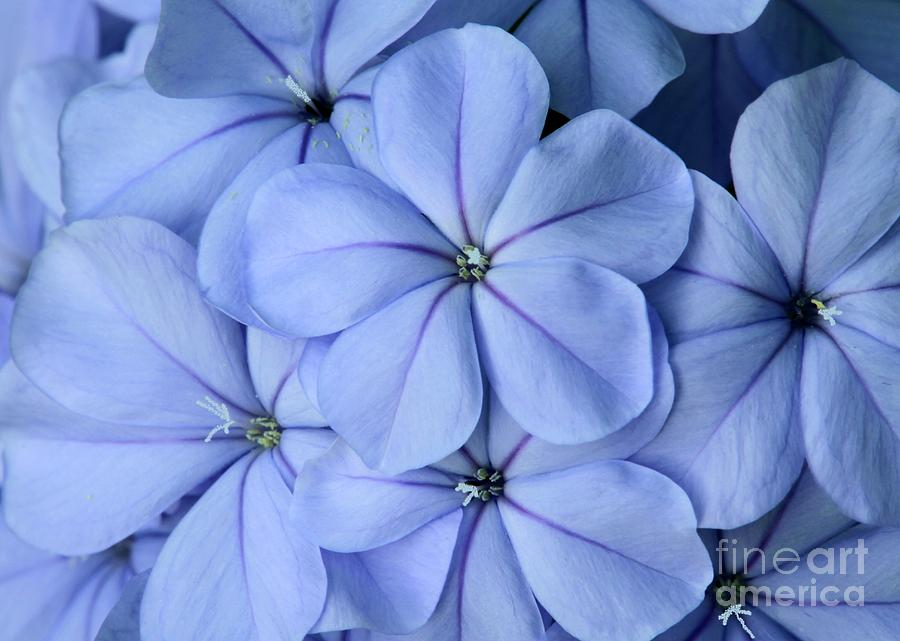 Flower Photograph - Pretty Plumbago by Sabrina L Ryan