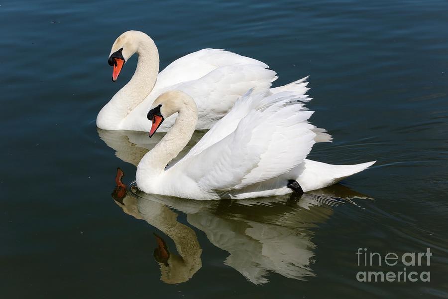 Swan Photograph - Pretty Swan Pair by Carol Groenen