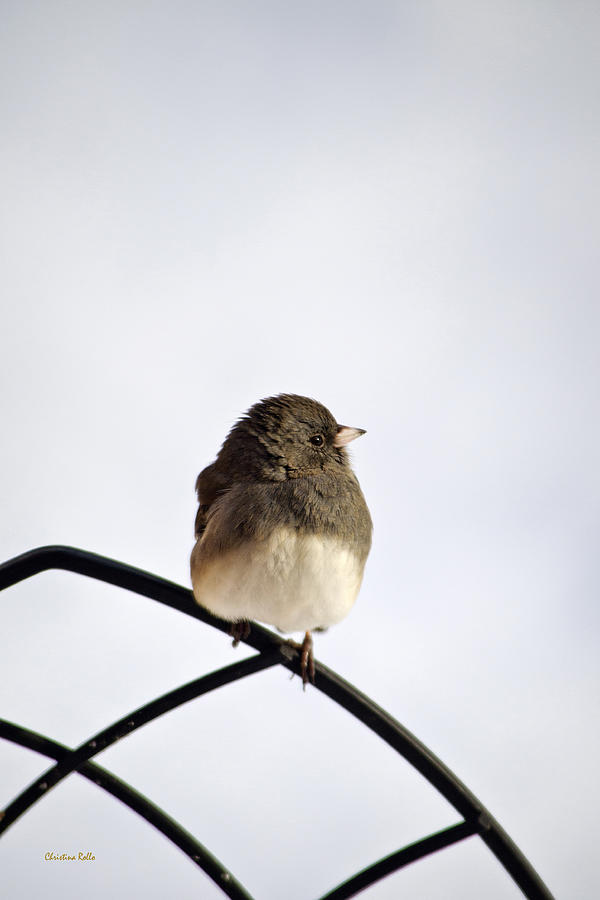 Pretty Winter Junco Photograph