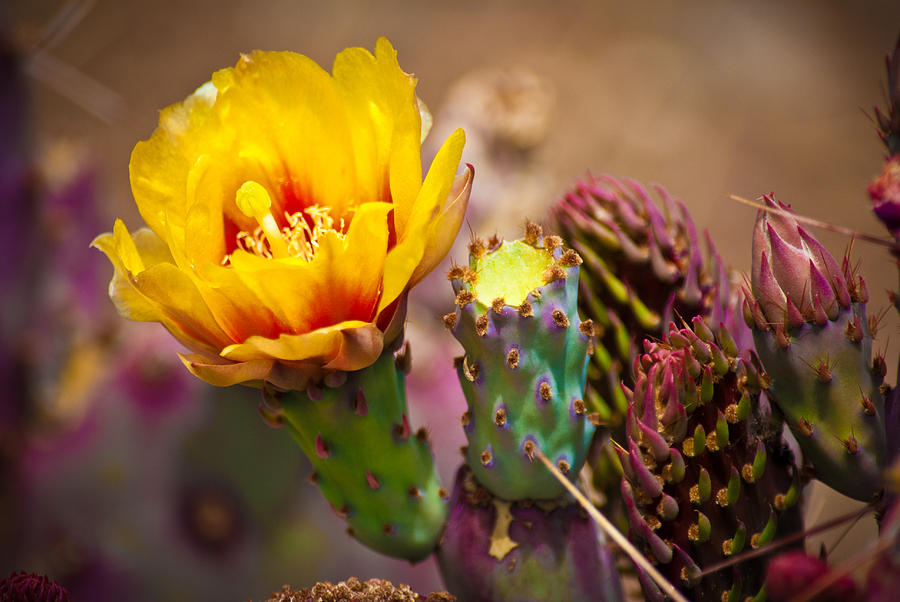 Prickly Pear Cactus Photograph  - Prickly Pear Cactus Fine Art Print