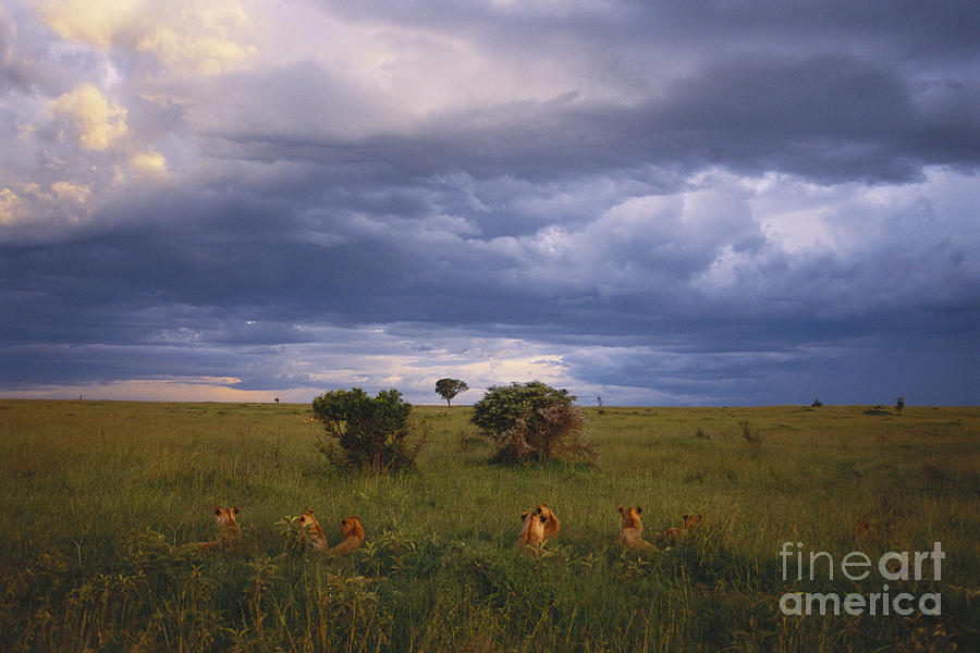 Outdoors Photograph - Pride Of Lions by Art Wolfe