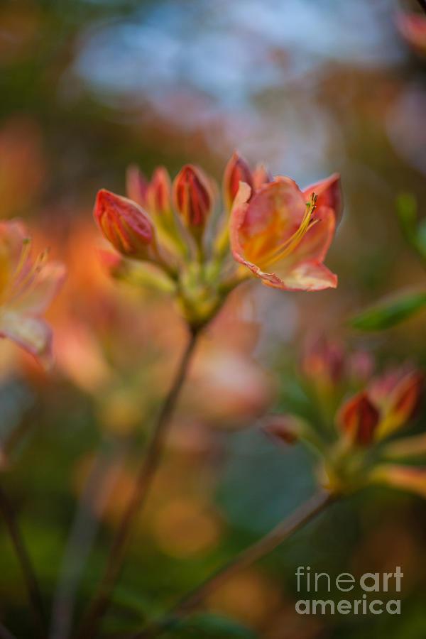 Proud Orange Blossoms Photograph