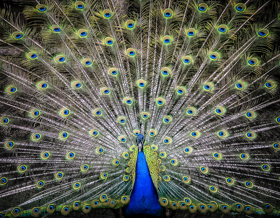 Proud Peacock Photograph