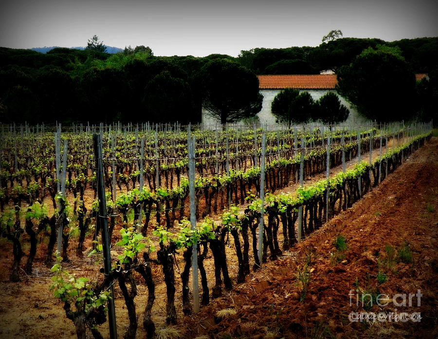 Provence Vineyard Photograph  - Provence Vineyard Fine Art Print