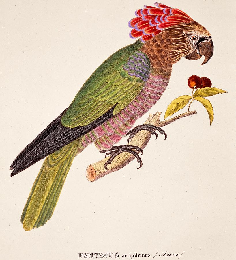 Bird; Parrot; Exotic; Colourful; Bright; Feathers; Plumage; Perched; Perch; Branch; Study; Drawing; Ornithology; Ornithological; Brazilian; South American Painting - Psittacus Accipitrinus by German School