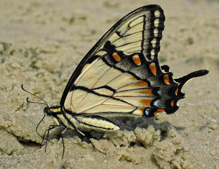 Puddling Eastern Tiger Swallowtail Butterfly Photograph