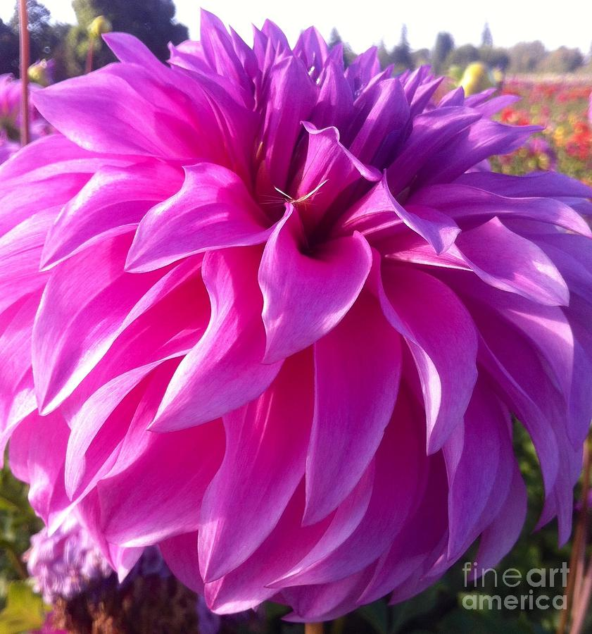 Puff Of Pink Dahlia Photograph  - Puff Of Pink Dahlia Fine Art Print