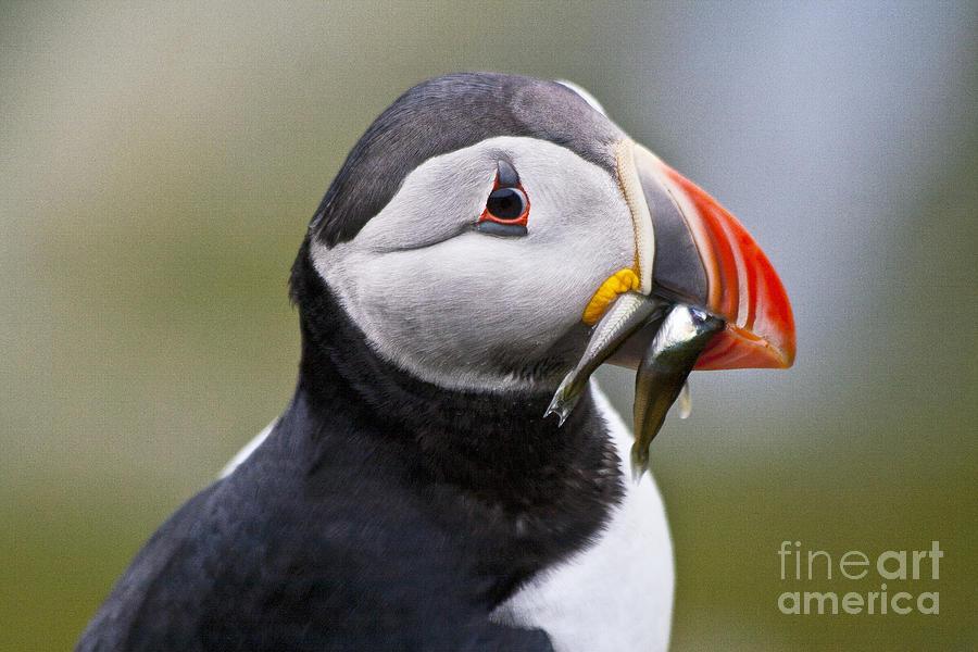 Bird Photograph - Puffin by Heiko Koehrer-Wagner
