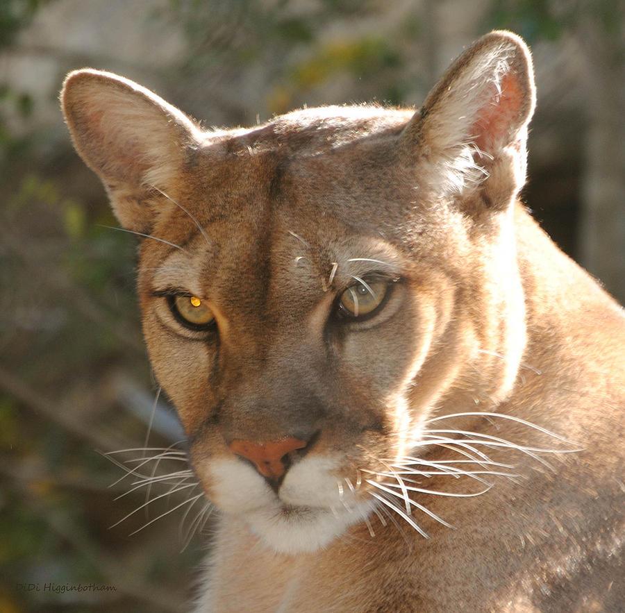 Puma Closeup Photograph