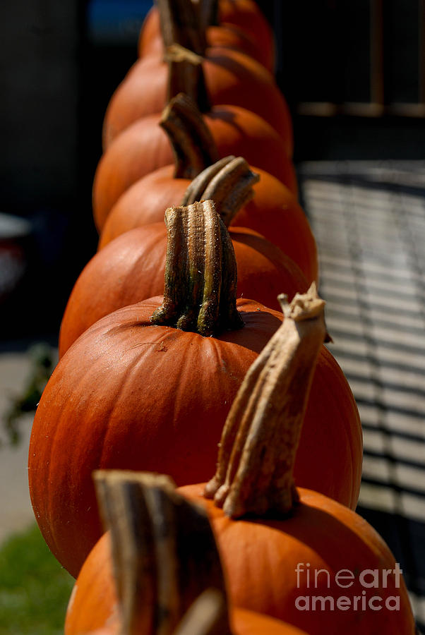 Pumpkins In A Row Photograph