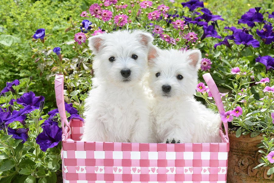 Puppies In A Pink Basket Photograph