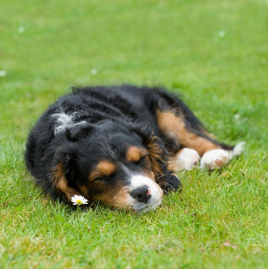 Puppy Asleep With Garden Daisy Photograph